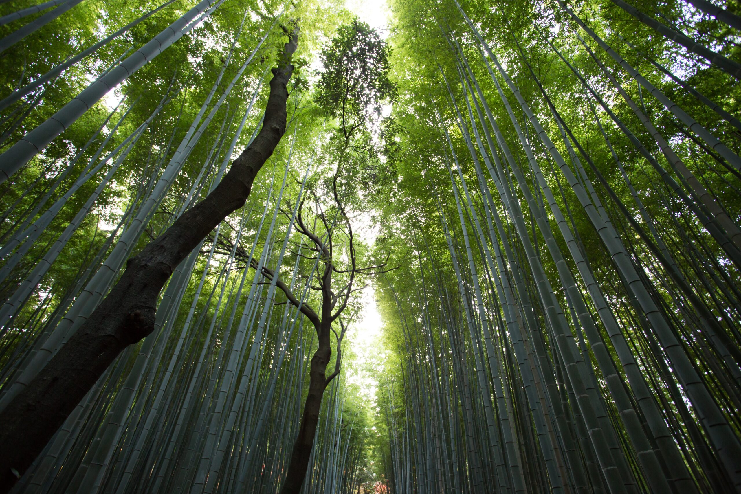 Photo of a bamboo forest and its canopy by Jason Ortego on Unsplash